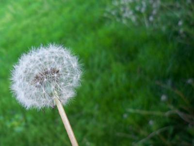 Rule of Thirds dandelion